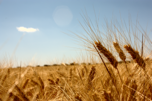 Wheat fields by rafale tovar (flickr)