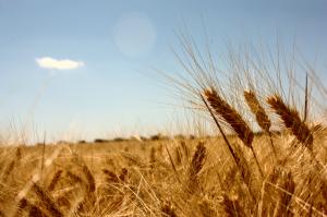 Wheat fields by rafale tovar (flickr)
